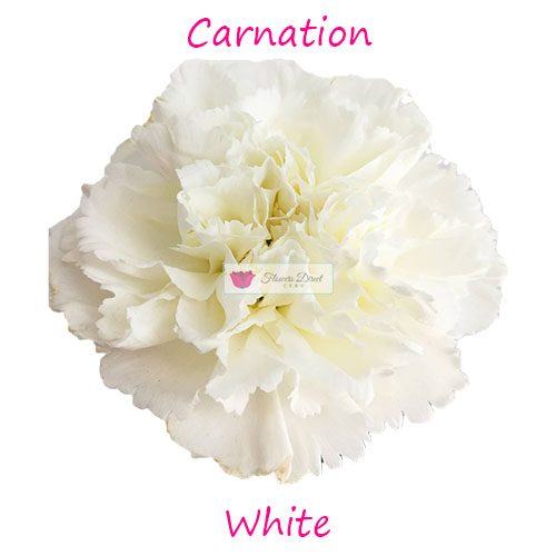 white carnation flowers direct cebu