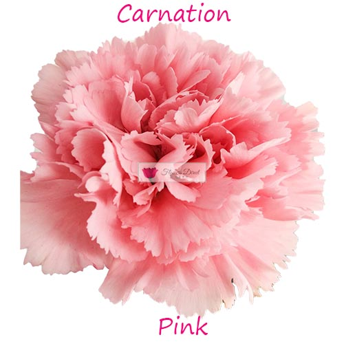 Pink Carnation Flowers Direct Cebu